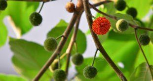 نهال درخت توت کاکوزا