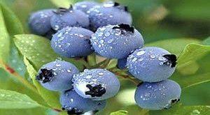 بلوبری چه میوه ای است و چه خواصی دارد