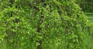 نهال درخت توت زینتی