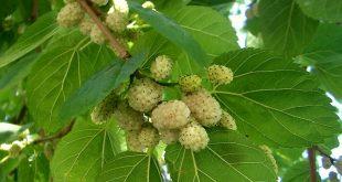 نهال درخت توت سفید
