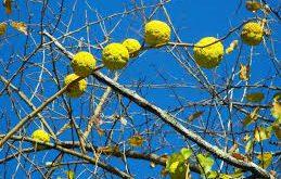 نهال درخت توت آمریکایی